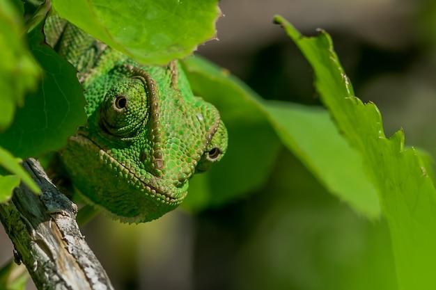 Un camaleonte mediterraneo ben mimetizzato (chamaeleo chamaeleon) che fa capolino da dietro alcune foglie.