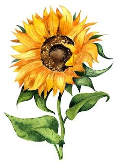 잘 된 해바라기 노란 꽃 수채화 그림 흰색 배경에 고립