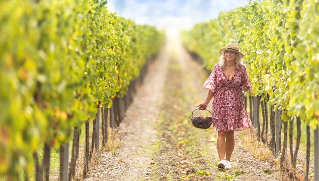 Well-dressed woman walks through the vineyard and picks sweet grapes.