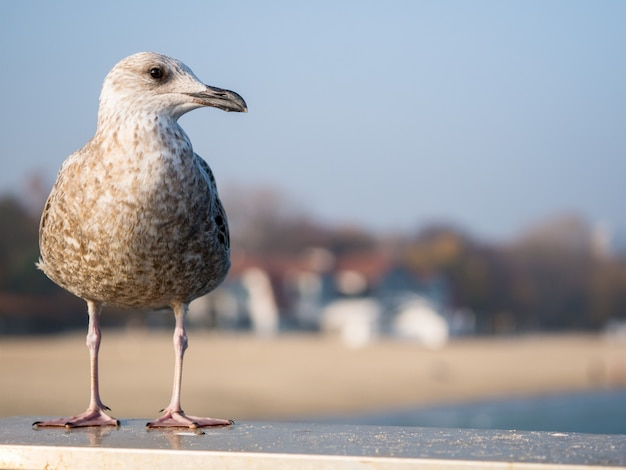 The well-fed gull sits on a handrail and looks at the sea