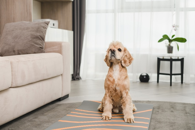 잘 손질된 순종적인 코커 스패니얼은 소파 근처 거실 카펫에 앉아 있고, 사람들에 의해 훈련을 받고, 사랑스러운 애완동물