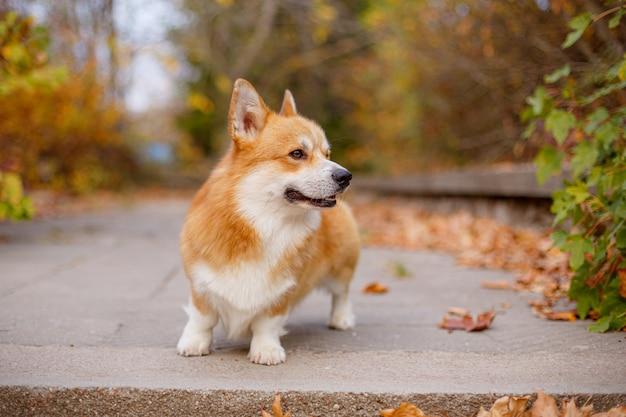 Собака вельш-корги осенью в парке