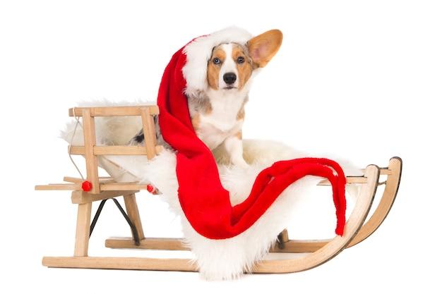 木製のそりに座って、大きなサンタの帽子をかぶったウェルシュコーギー犬。白で隔離。