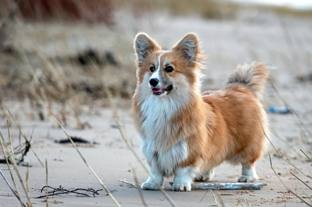 Welsh corgi fluffy runs around the beach and plays in the sand - image