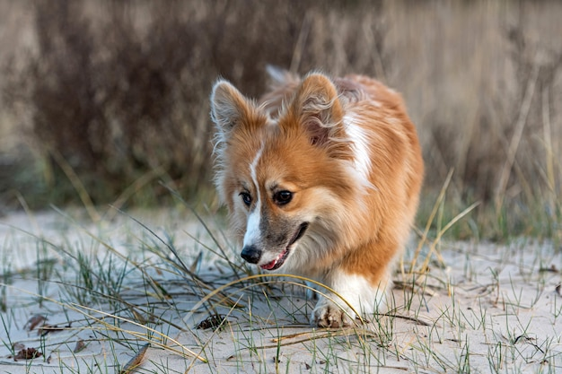 Welsh corgi fluffy runs around the beach and plays in the sand