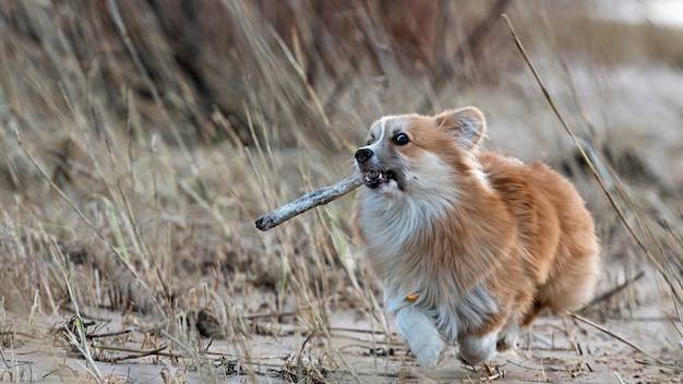 Welsh corgi fluffy runs around the beach and plays with a stick