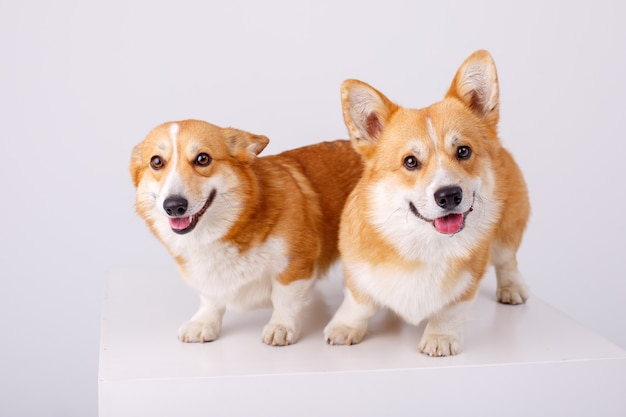 Welsh corgi pembroke 2 dogs on a white