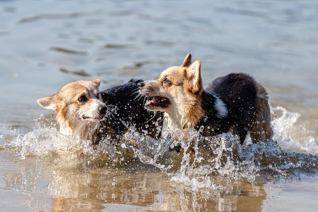 ウェルシュコーギーペンブローク犬は湖で泳ぎ、晴れた日を楽しんでいます