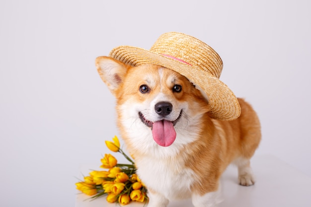 Welsh corgi pembroke dog with a bouquet of spring flowers in a sale hat isolated on white