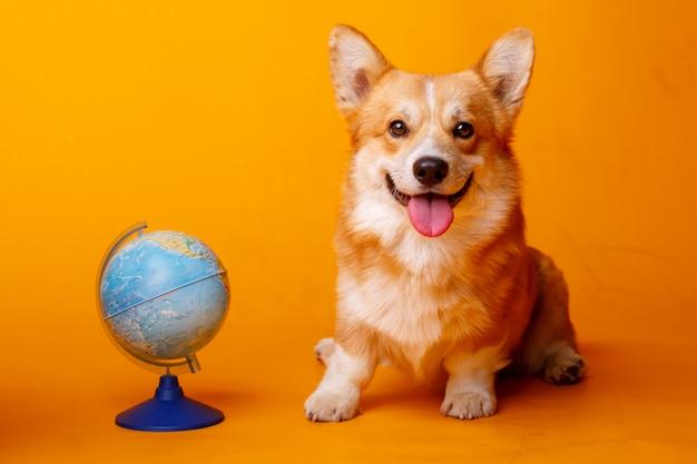 Welsh corgi pembroke dog with a globe on orange