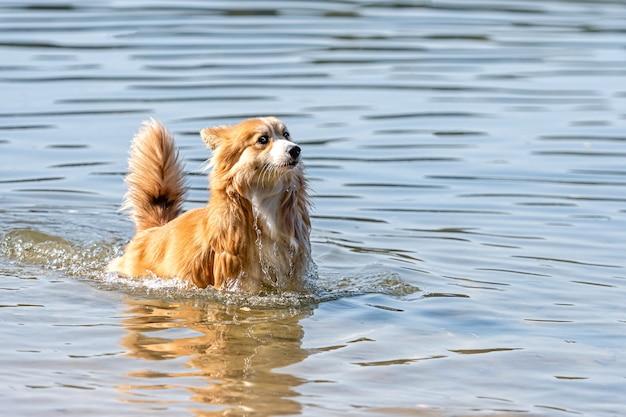 ビーチの水で遊ぶウェルシュコーギーペンブロークふわふわ犬