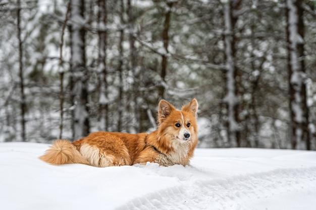 美しい冬の森を散歩するウェルシュコーギーペンブロークふわふわ