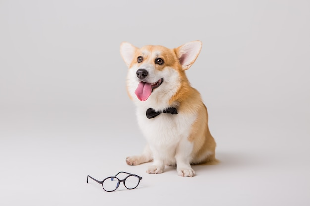 Welsh corgi pembroke in glasses