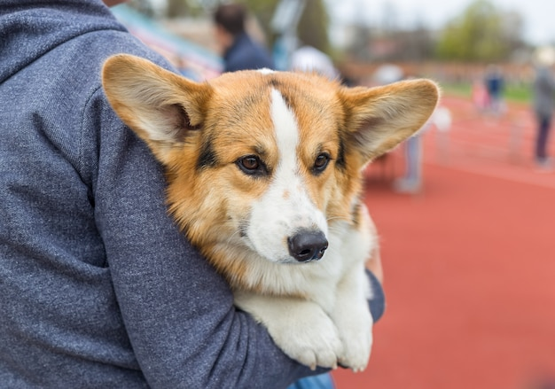 Welsh corgi pembroke on its owners hands