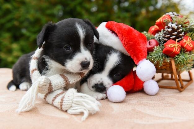 Щенки вельш корги пемброка собаки в шапке санта
