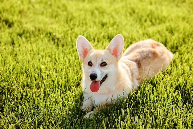 Вельш-корги пемброк, чистокровная блондинка окраса, лежит летом на зеленой лужайке.