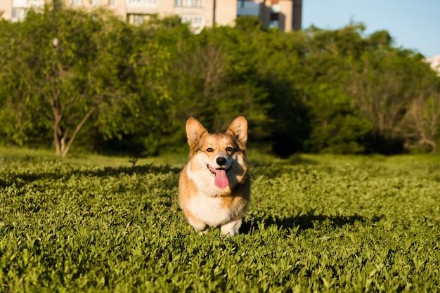 ウェールズのコーギーペンブロークの笑顔と幸せなかわいい犬が公園の芝生の上に座っています。