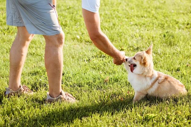 웨일스 어 corgi pembroke가 주인에게 발을 내밀기 위해 훈련합니다. 여름에는 야외.