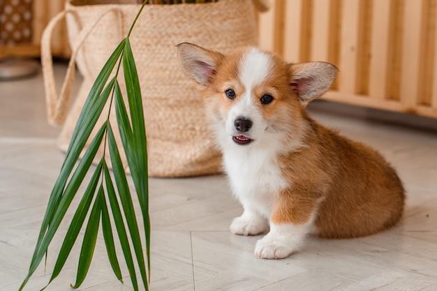 Welsh corgi puppy at home