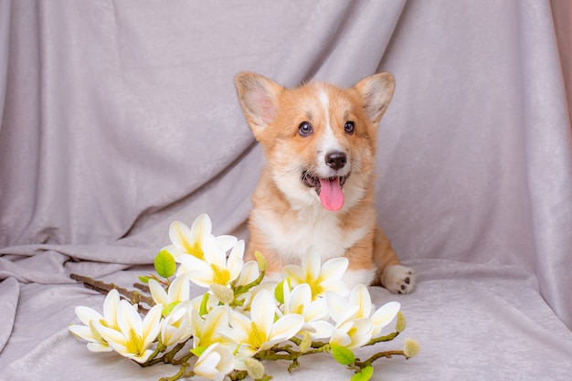 Welsh corgi puppy near bouquets of spring flowers