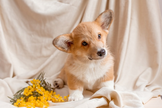 Welsh corgi puppy sits on a beige background with spring flowers