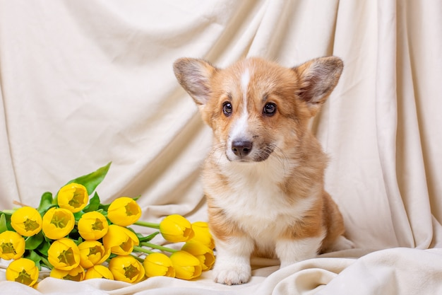 Welsh corgi puppy sits on a beige background with yellow tulips