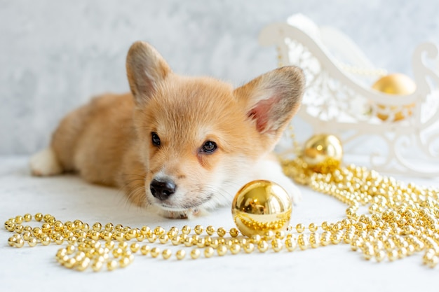Welsh corgi puppy with christmas tree toy