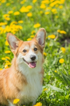 Welsh kogri red color dog sitting in green grass