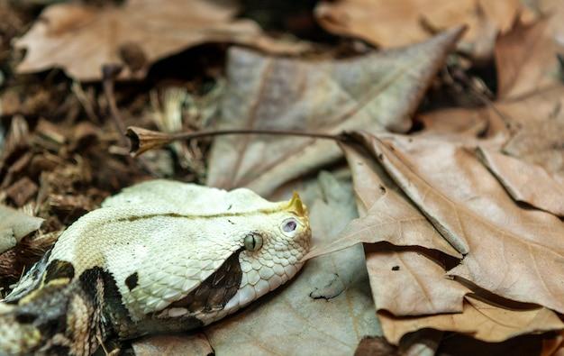 西アフリカヒヒ毒蛇bitis gabonica
