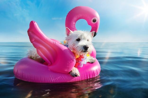 Вест хайленд терьер отдыхает на резинового лебедя на морском курорте