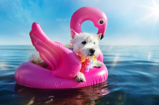 West highland terrier having rest on the rubber swan at the sea resort