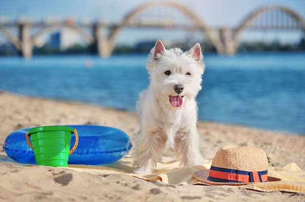 West highland terrier standing on the towel at the beach