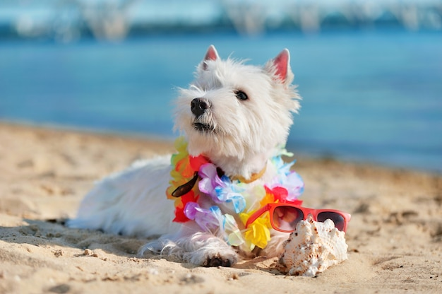 West highland terrier with floral garland on neck laying at the beach