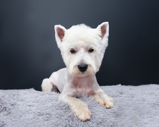 ウエストハイランドホワイトテリア犬は黒い壁に灰色の敷物の上に横たわっています