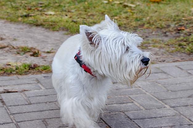 ウエストハイランドホワイトテリア。公園を散歩している犬。