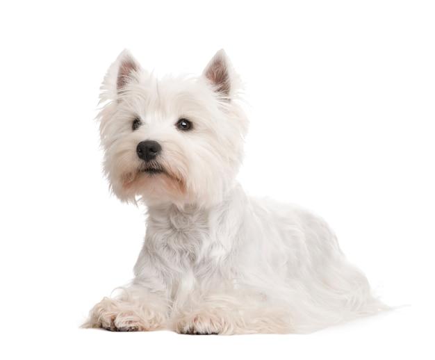 分離されたウエストハイランドホワイトテリア犬の肖像画