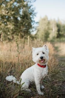 フィールドに座っているウエストハイランドホワイトテリア犬