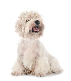 ウエストハイランドホワイトテリア犬