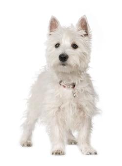 5ヶ月のウエストハイランドホワイトテリア。分離された犬の肖像画