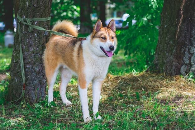 Западно-сибирская лайка на открытом воздухе. собака на поводке привязана к дереву