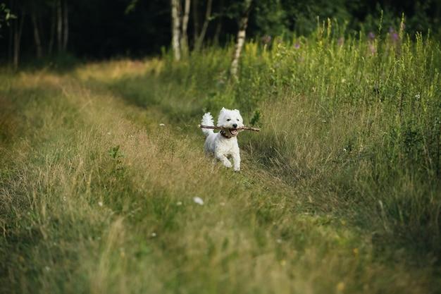 夏に棒でフィールドを走るウエストテリア犬