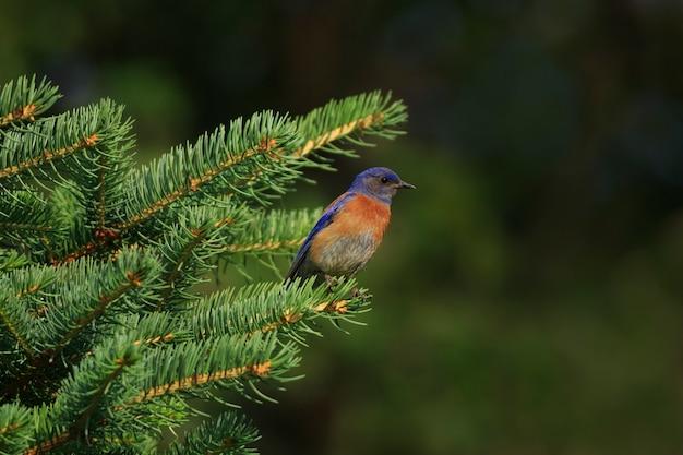 Western bluebird in evergreen tree