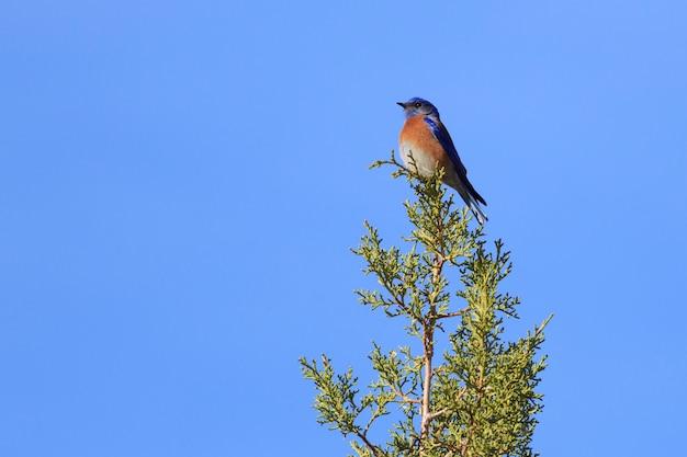 Western bluebird in juniper tree