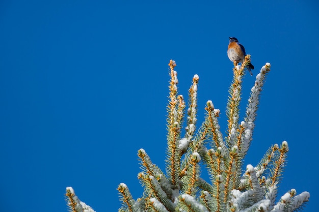 Western bluebird at the top of a pine tree
