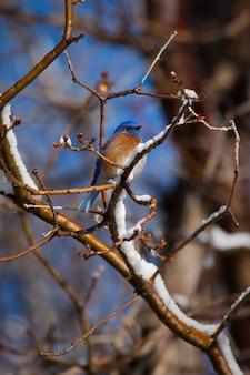 Western bluebird in winter tree