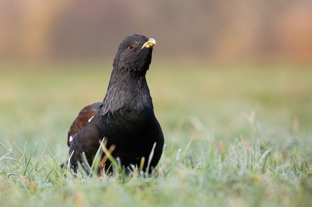 Western capercaillie sitting on grassland in spring