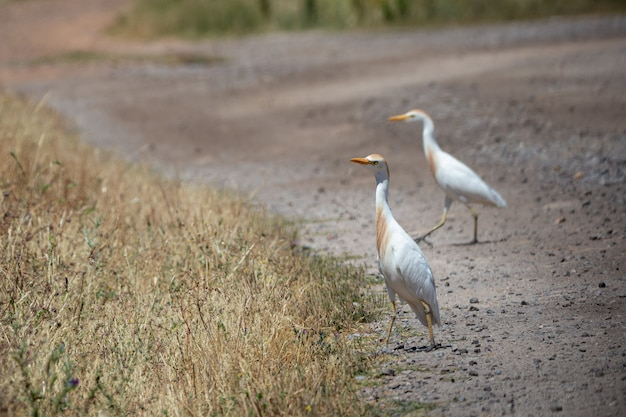 The western cattle egret (bubulcus ibis) is a species of heron.