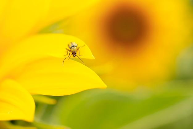 Western corn beetle - diabrotica virgifera. sunflower, a harmful insect corn beetle on a yellow background, close-up. beetle diabrotica virgifera close-up on a yellow background. diabrotica virgifera.
