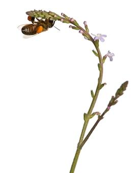分離された花粉を運ぶ西洋ミツバチまたはヨーロッパミツバチapismellifera