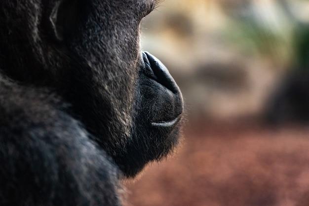Western male gorilla sitting, gorilla gorilla gorilla, in a zoo.